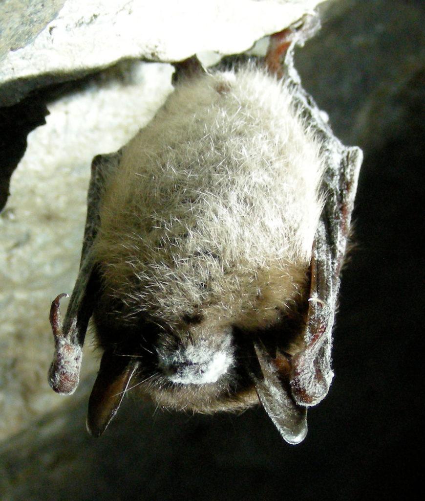 furry upside down bat